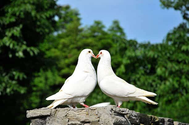 Two loving white doves.